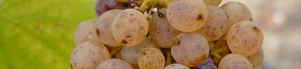 Chenin grappe